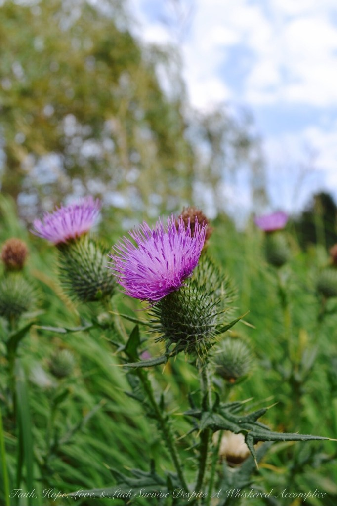 Scottish Thistle | Faith, Hope, Love, and Luck Survive Despite a a Whiskered Accomplice
