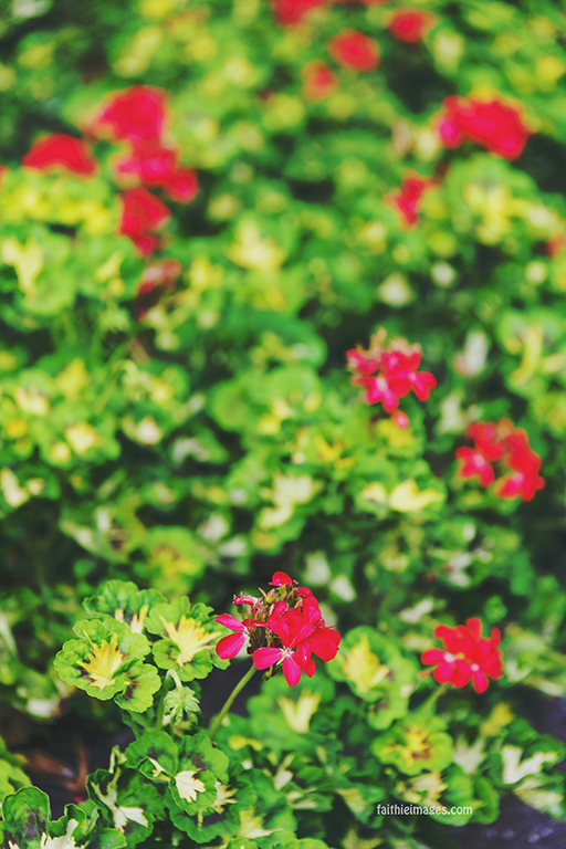 Red Geranium field with shallow depth of field, bokeh effect