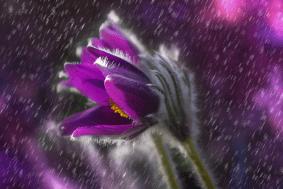 Prince's purple rain