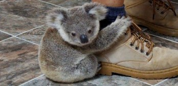 Imogen baby koala