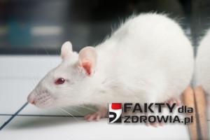 Najnowsze wytyczne europejskie zatwierdzają metodologię prof. Seraliniego oraz wyniki jego badań na szczurach karmionych kukurydzą GMO