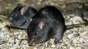 Rato negro