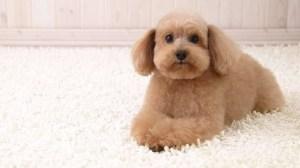 Poodle Toy padrão