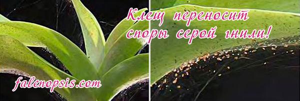 Клещ на орхидее