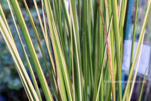 Baumea rubiginosa 'variegata'