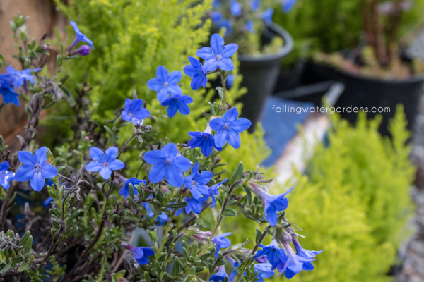lithodora-diffusa-grace-ward
