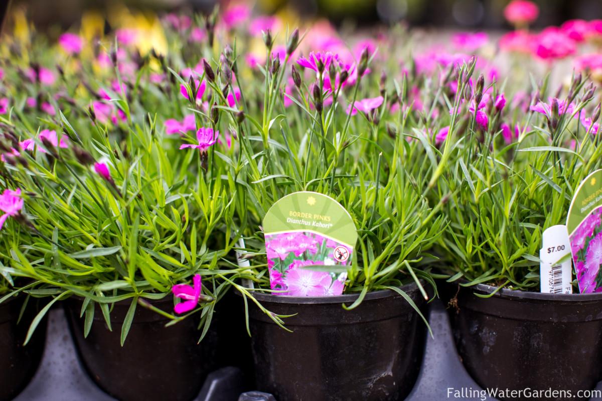 https://i1.wp.com/fallingwaterdesigns.com/plants/wp-content/uploads/2017/09/Falling_Water_Gardens_Monroe_Washington_Plant_Nursery_Garden_Decor_Garden_Center_Near_Me_dianthus_kahori_border_pinks-2.jpg?fit=1200%2C800