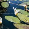 Water Hawthorn