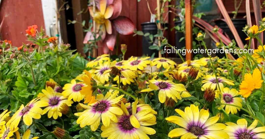 May Newsletter Flowers at Falling Water Gardens in Monroe Washington