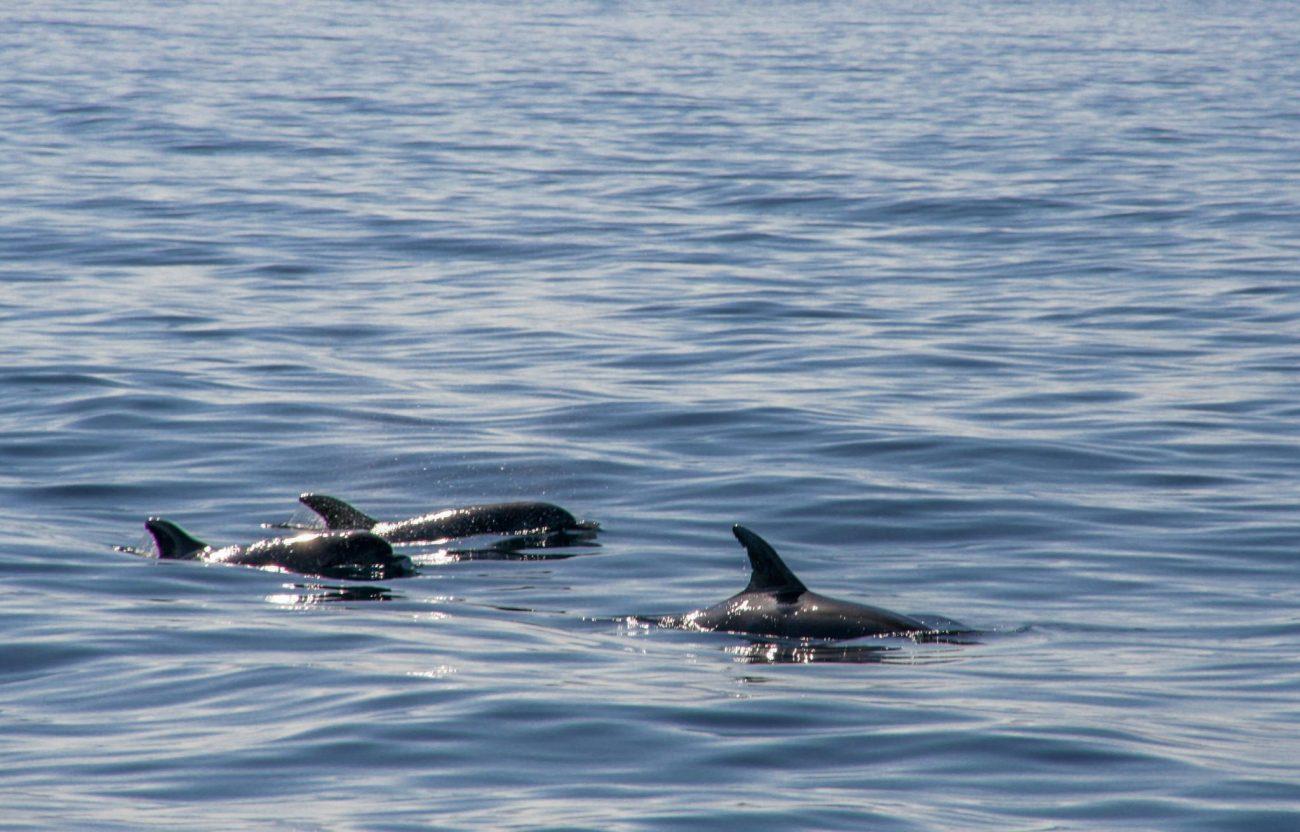 wale-delfine-spanien-whale-watching-tarifa-firmm