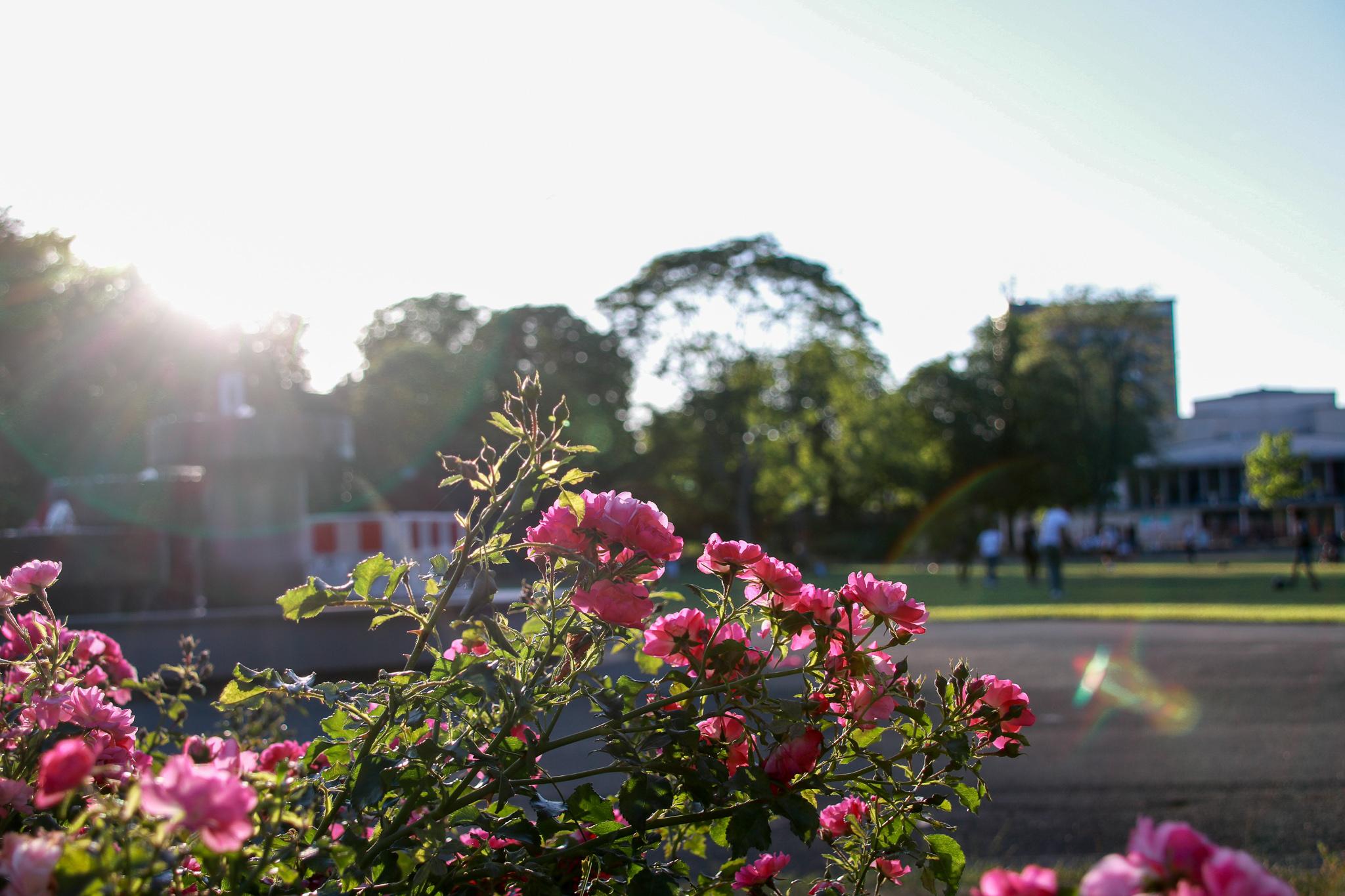 Hameln-bürgerpark-tipps-rosen-sonne