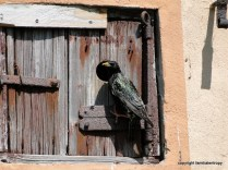 Starling in front of his house