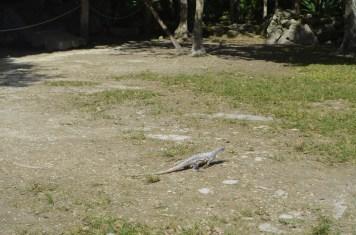 Iguanas nas ruínas