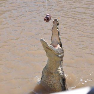 (C) Juke Reiselust: Das Krokodil katapultiert sich aus dem Wasser um an den Fleischbrocken zu gelange.
