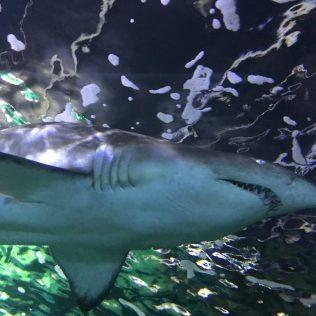 (C) Jule Reiselust: Sichelflossenzitronenhai