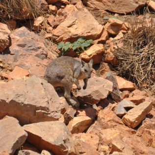 (C) Jule Reiselust: Wallabies am Ufer des Lake Argyle.