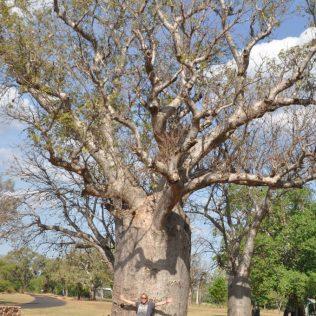 (C) Jule Reiselust: Boab Tree in Kununurra.