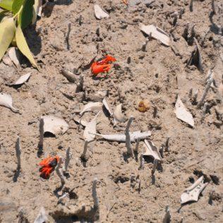 (C) Jule Reiselust: Krebse am Streeters Jetty in der Mangrove.