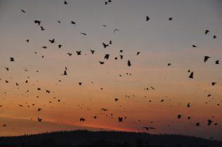 (C) Jule Reiselust: Ausschwärmen der Little Red Flying Fox zur Nahrungsbeschaffung zum Sonnenuntergang.