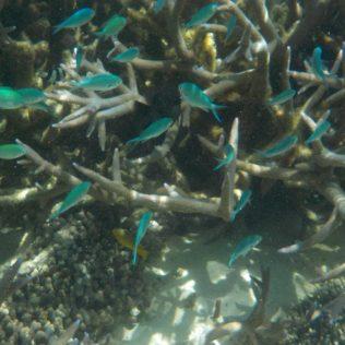 Blaue Korallen