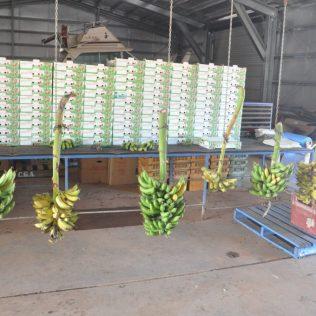 (C) Jule Reiselust: Bananen zum Verkauf im Hofladen.