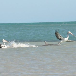 (C) Jule Reiselust: Lustige Beobachtung: ein Delphin verjagt einen Pelikan.