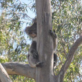 (C) Jule Reiselust: Koala im Yanchep Nationalpark.
