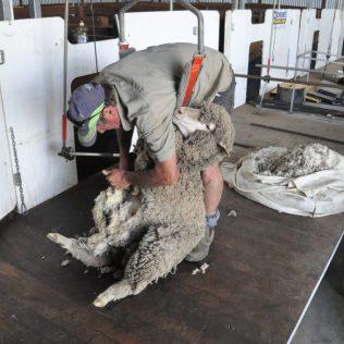 (C) Jule Reiselust: Farmer Kim schert ein Schaf.