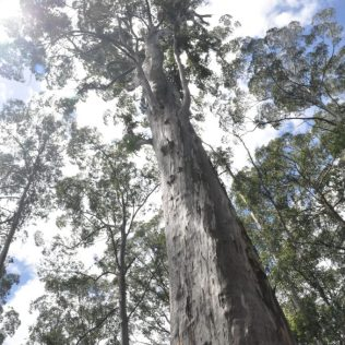 (C) Jule Reiselust: Big Karri Tree