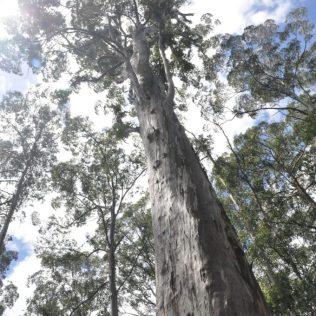 (C) Jule Reiselust: Big Karri Tree