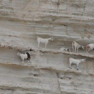 (C) Jule Reiselust: Ziegen klettern und ruhen sich aus an der Sandsteinklippen.