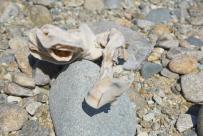 Getrocknete Muräne an der Cable Bay