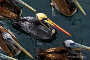 Dem Herzen folgen, Coquimbo streifen und in Pisco Elqui für immer bleiben wollen - Pelikane im Hafen von Coquimbo