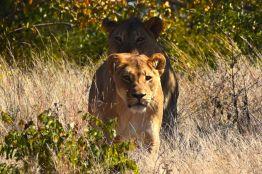 lejonhona puttas fram