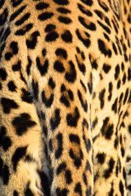 leopardens mönster