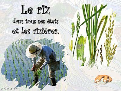 Le riz dans tous ses états et les rizières