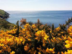 Ajoncs jaunes devant l'océan