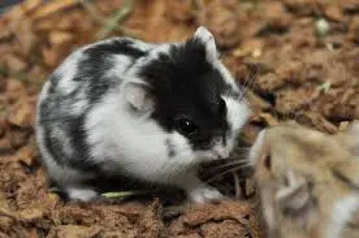 Choosing a Campbell hamster