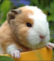 Is it better getting a baby Guinea pig ?
