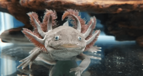 having a pet axolotl