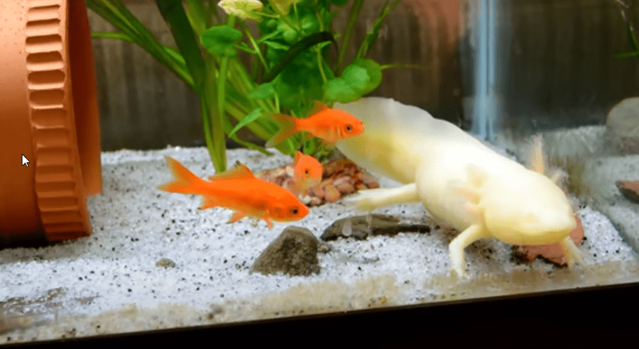 axolotl tank mates