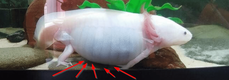 axolotl health issues and symptoms