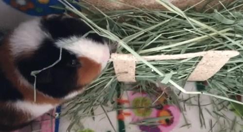 Do guinea pigs need hay