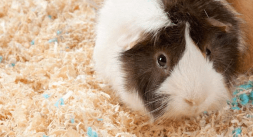 why do guinea pigs may smell bad ?