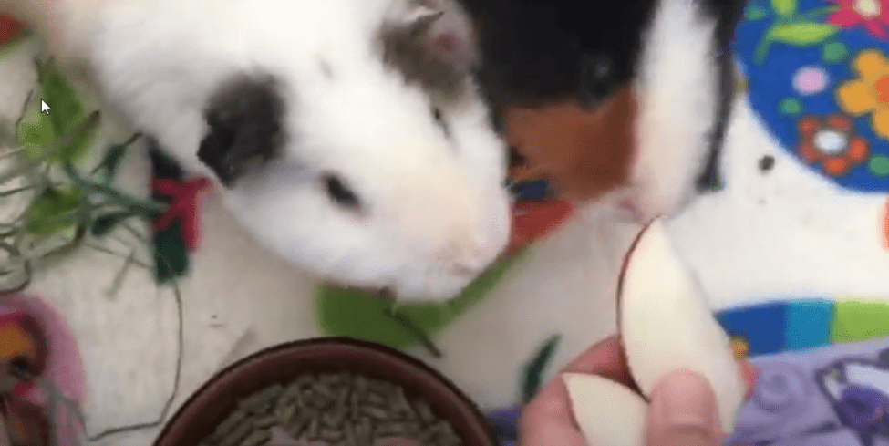 Do guinea pigs eat and need fruits ?