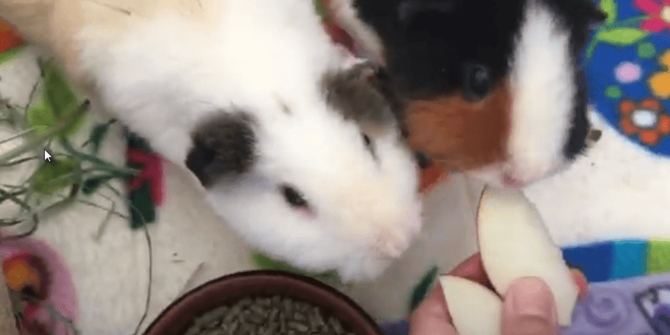 use fruits and treats to gain your guinea pig's love