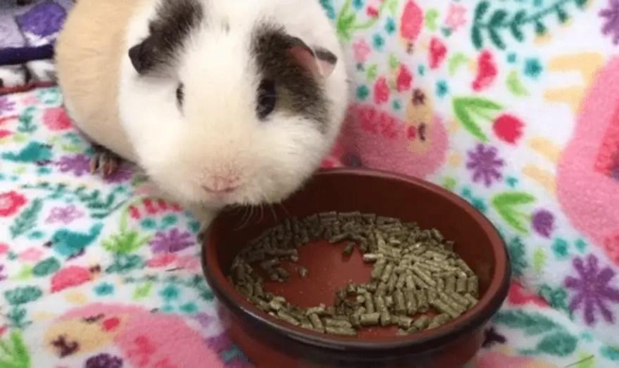 Do guinea pigs need pellets ?