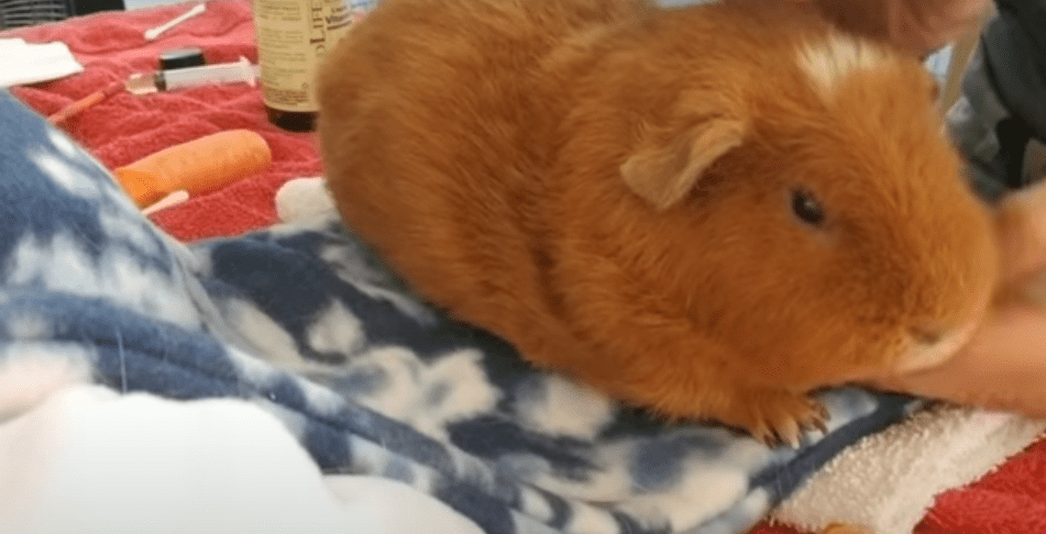 the guinea pig diseases and their symptoms