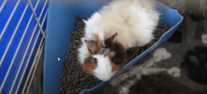 introducing cavies and dogs