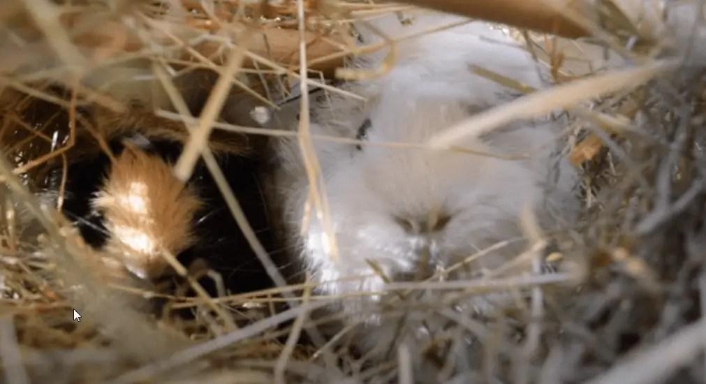 Guinea pig evening routine